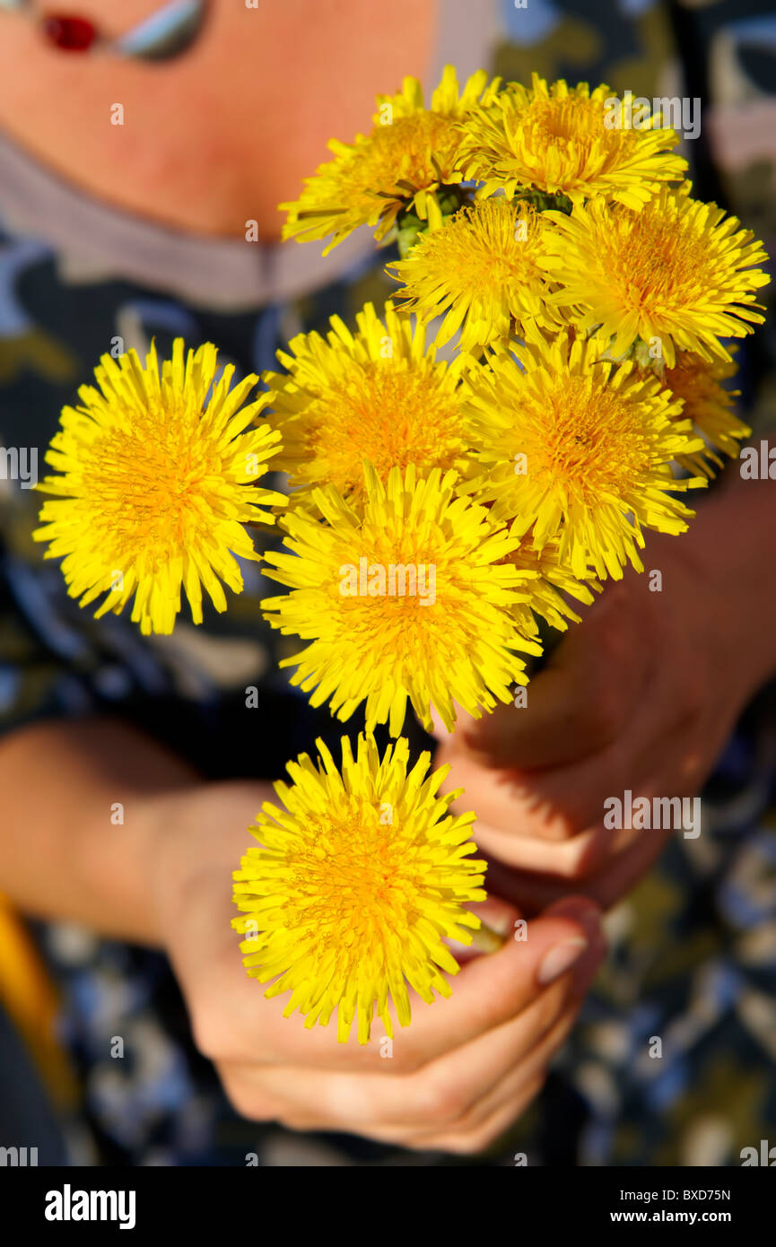 Bunch of dandelions being picked in the late spring - Stock Image