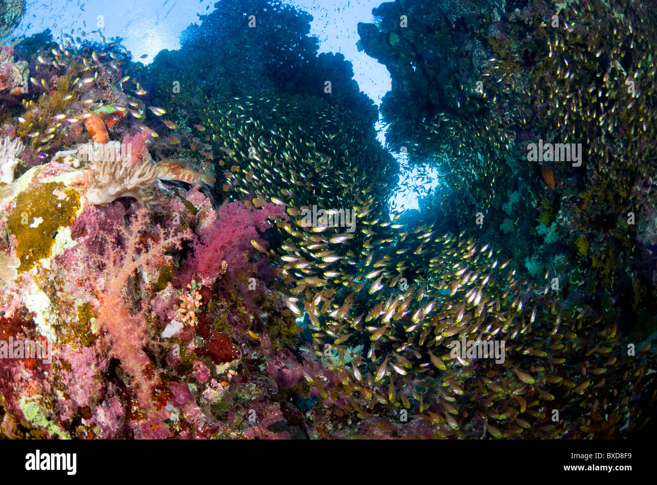 School of glass fish, Ras Zatar, Ras Mohammed, Sinai, Egypt, Red Sea - Stock Image