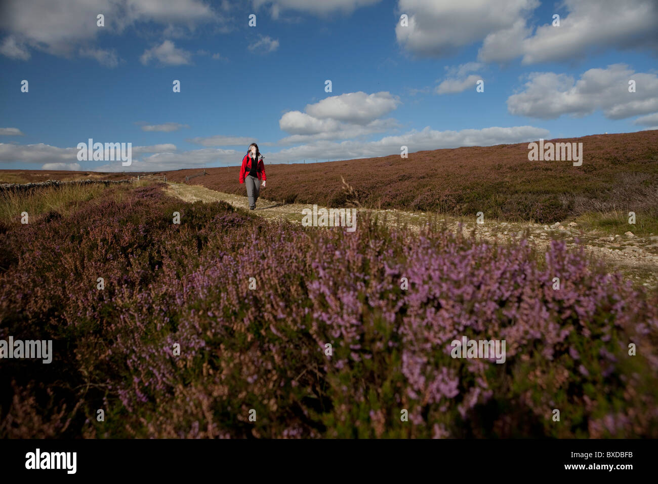 Walker on the Cleveland Way National trail , North Yorkshire - Stock Image