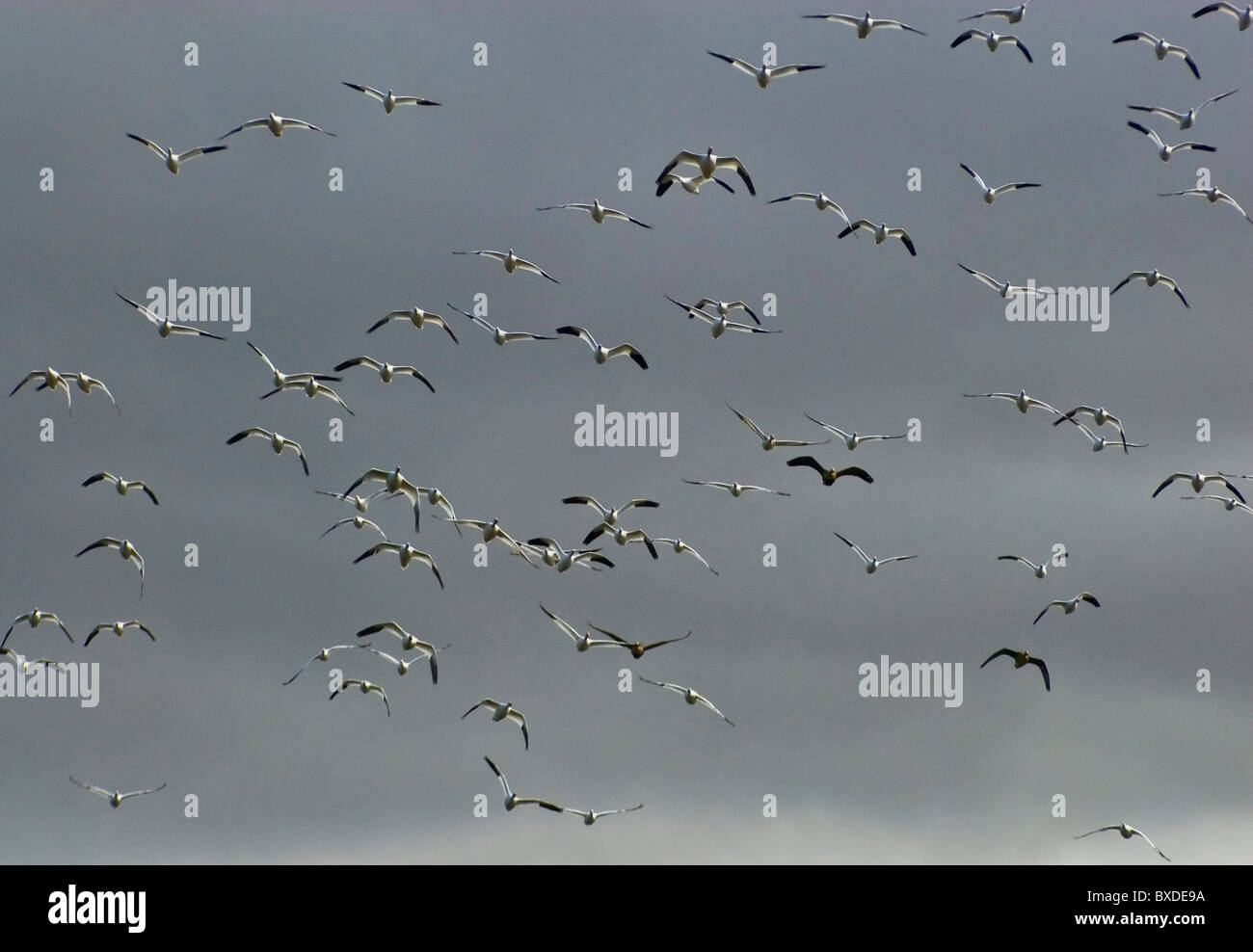 Flight of birds in March at Lower Klamath National Wildlife Refuge, California, USA - Stock Image