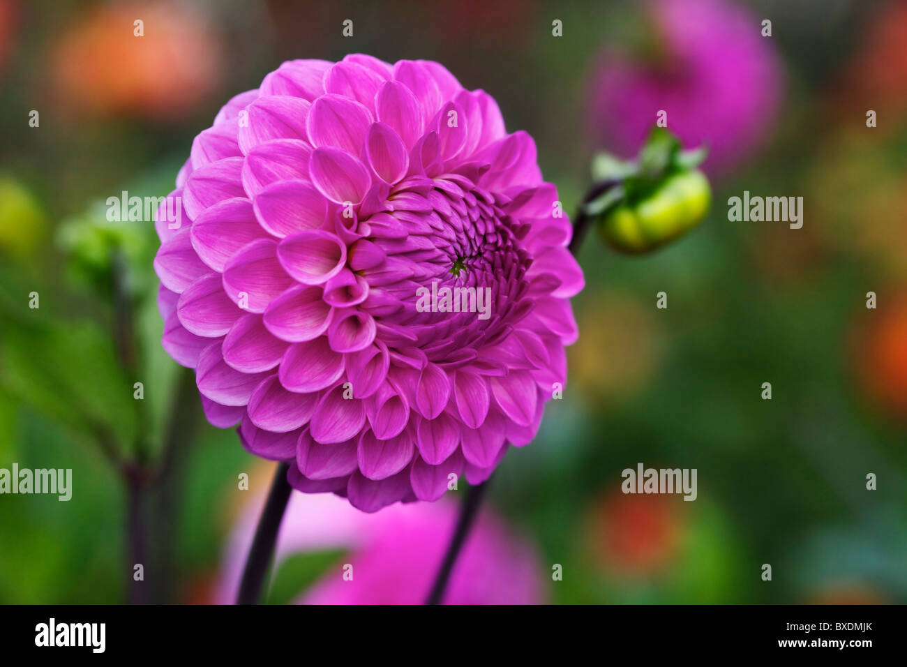 Dahlia Buds Stock Photos Dahlia Buds Stock Images Alamy