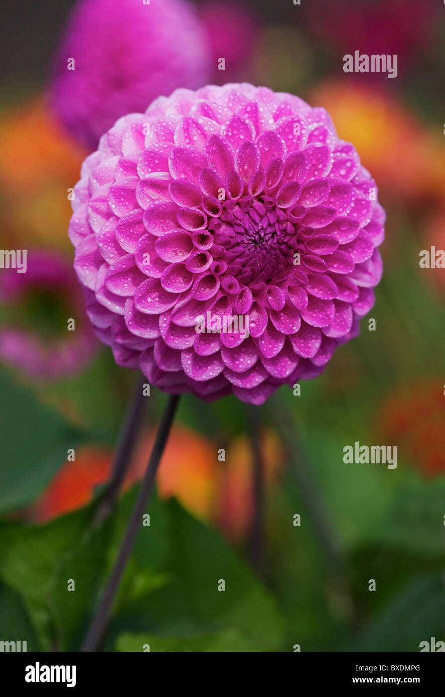 Dahlia buds stock photos dahlia buds stock images alamy pink dahlia flower blooming in the late summerearly autumn season stock image izmirmasajfo