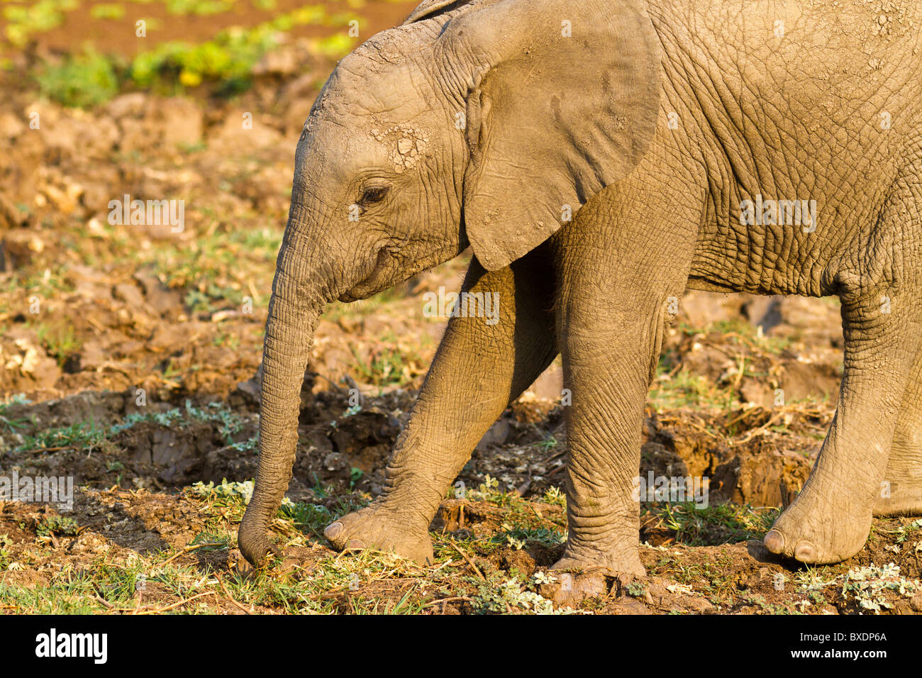 Elephant calf, seen while on safari in South Luangwa National Park, Zambia, Africa. - Stock Image