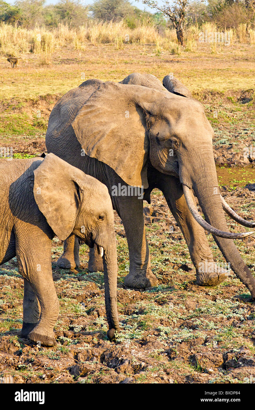 Elephant calf and young adult, seen while on safari in South Luangwa National Park, Zambia, Africa. - Stock Image