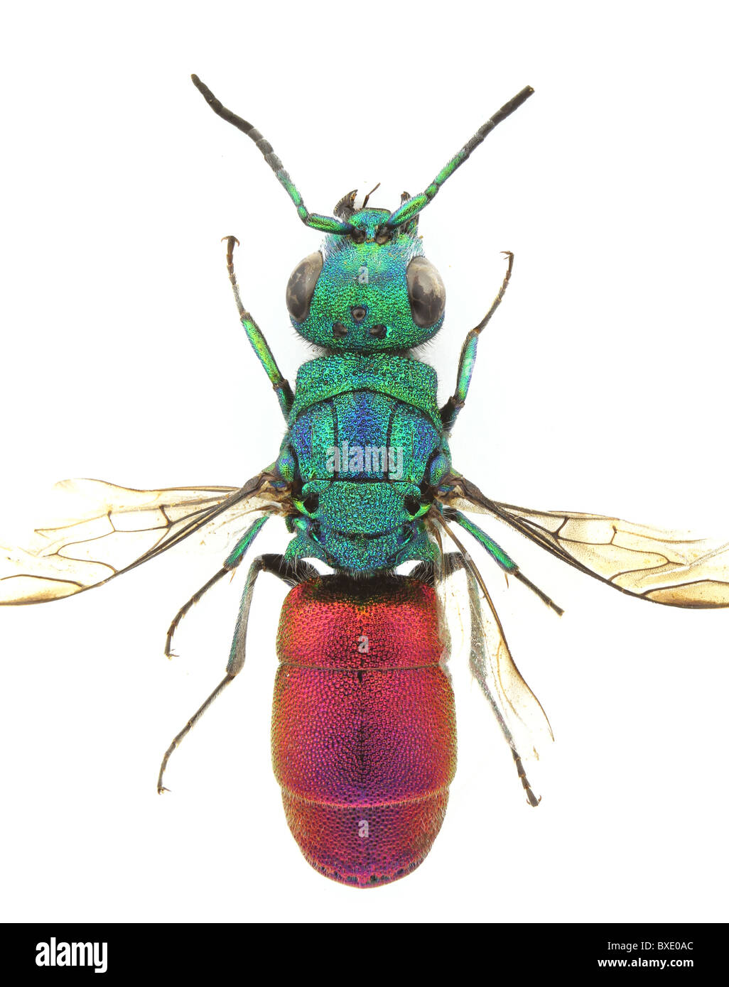 Chrysura refulgens (Cucko Wasp, jewel wasp) isolated on a white background. - Stock Image