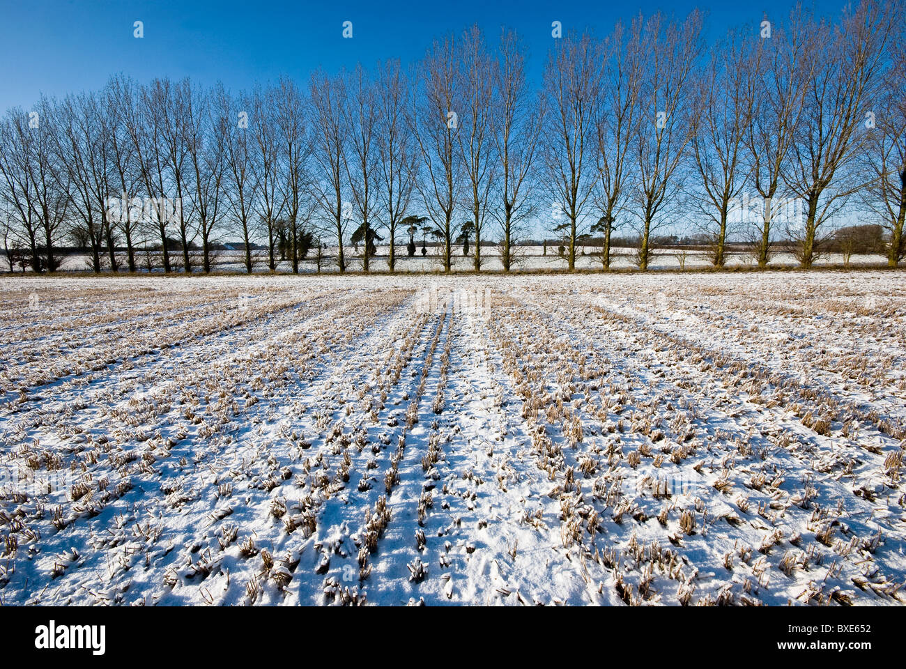 Line of leafless poplar trees silhouetted against a blue sky.  Snow covered wheat stubble field in the foreground. Stock Photo
