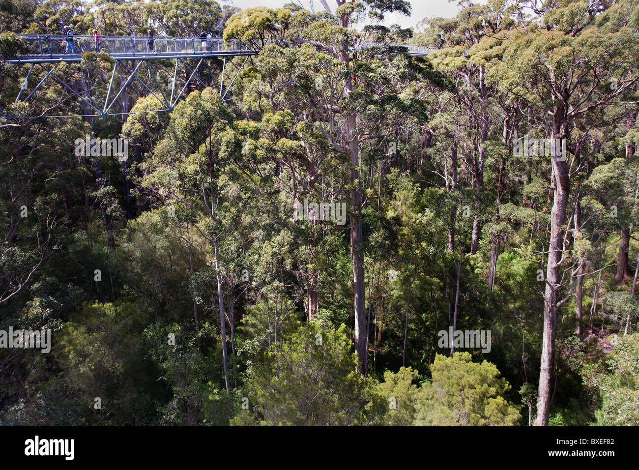 Tourists walk at 40m amongst the Tingle tree tops at the Valley of the Giants Treetop Walk near Walpole in Western - Stock Image