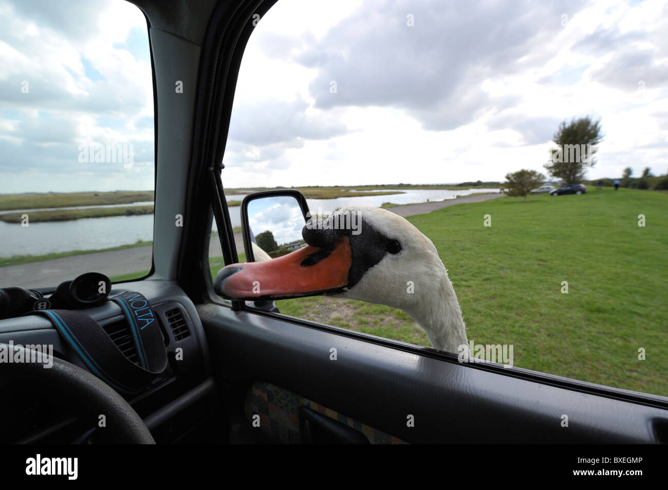 Friendly Mute swan (Cygnus olor) pokes head in car window looking for more bread. Feed the birds. - Stock Image