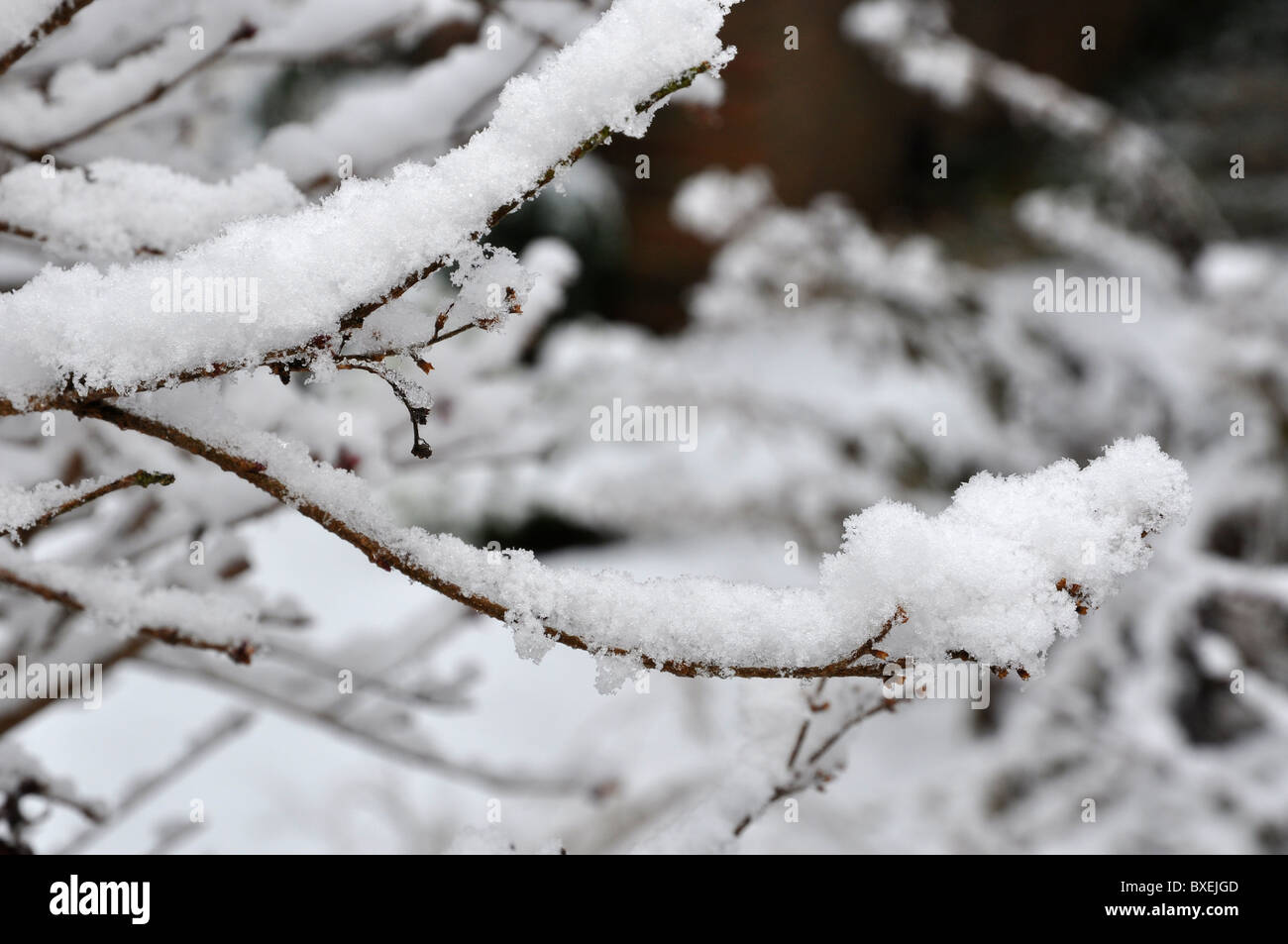 Little twig covered with heavy snow load - Stock Image