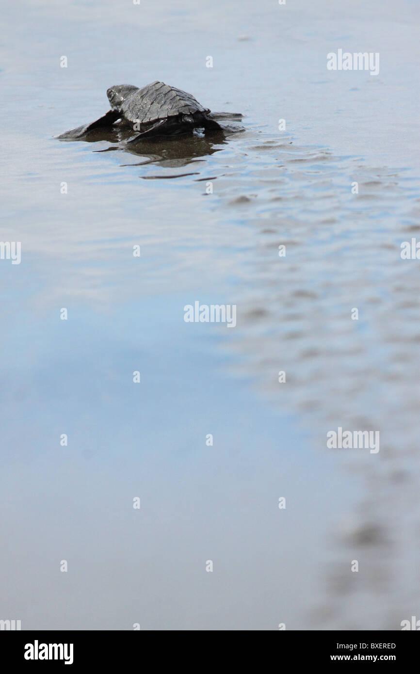 Olive Ridley Turtle hatchling (Lepidochelys olivacea) arriving to ocean. - Stock Image