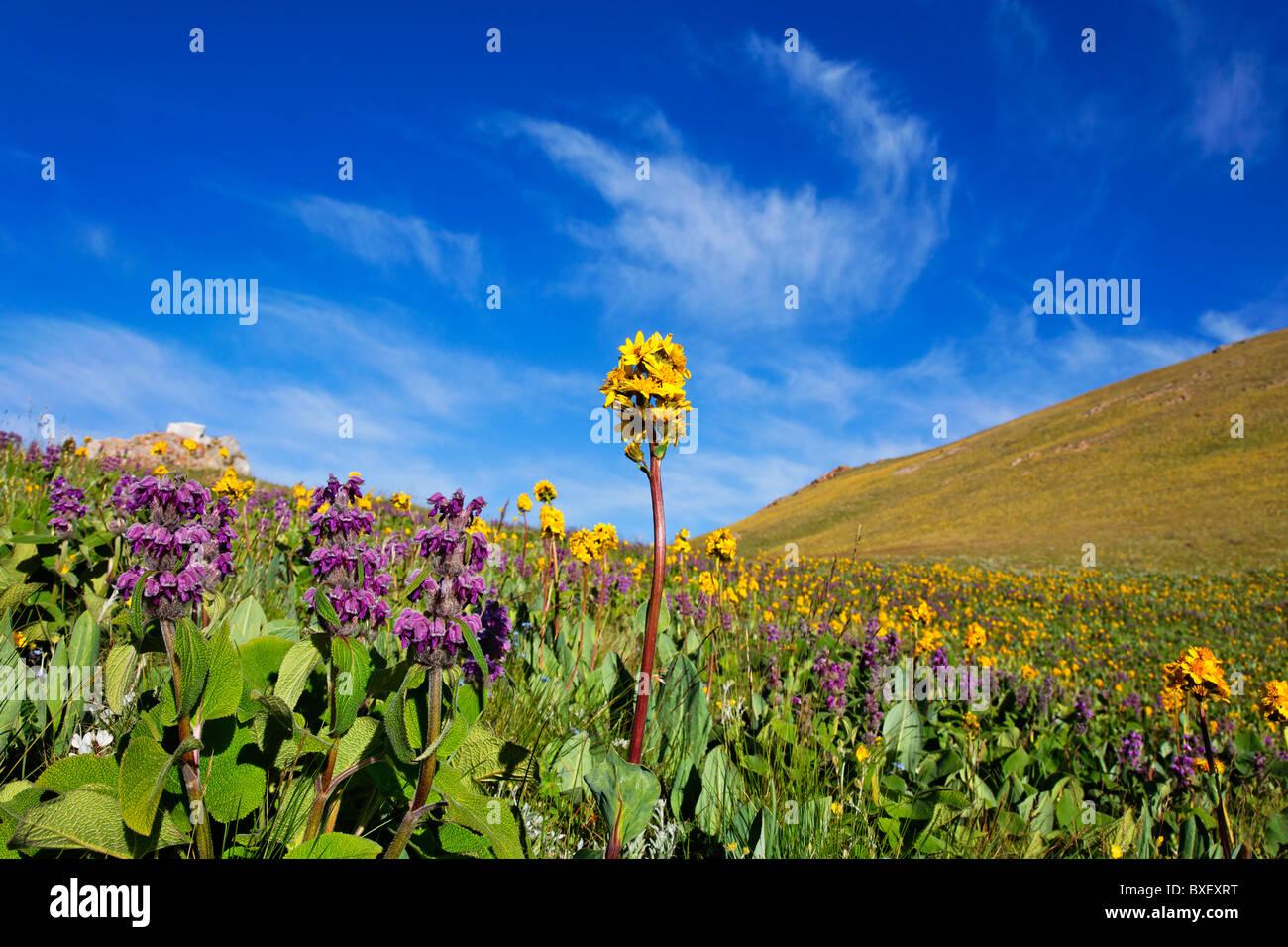 Kyrgyzstan - Lake Song Kul - summer flowers beside Lake Song Kul - Stock Image