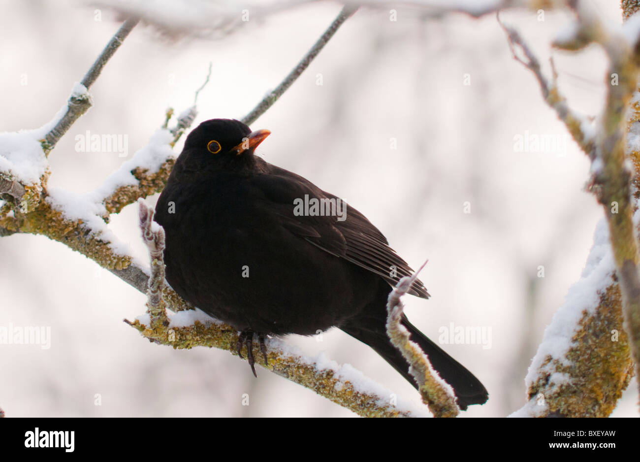 Male Blackbird perched on snow covered branch - Stock Image