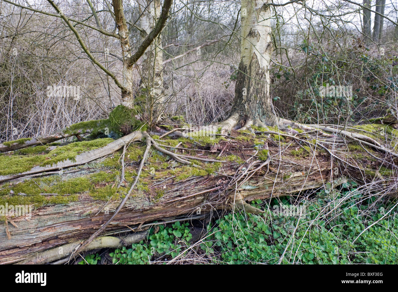 Two Silver Birch trees growing out of a fallen tree Stock Photo