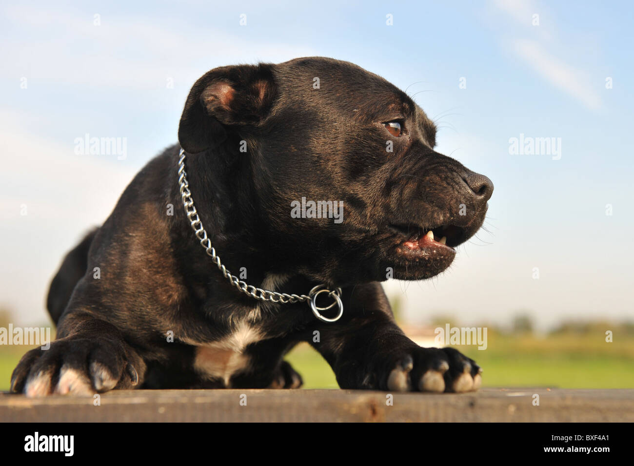 portrait of a staffordshire bull terrier angry and laid down - Stock Image