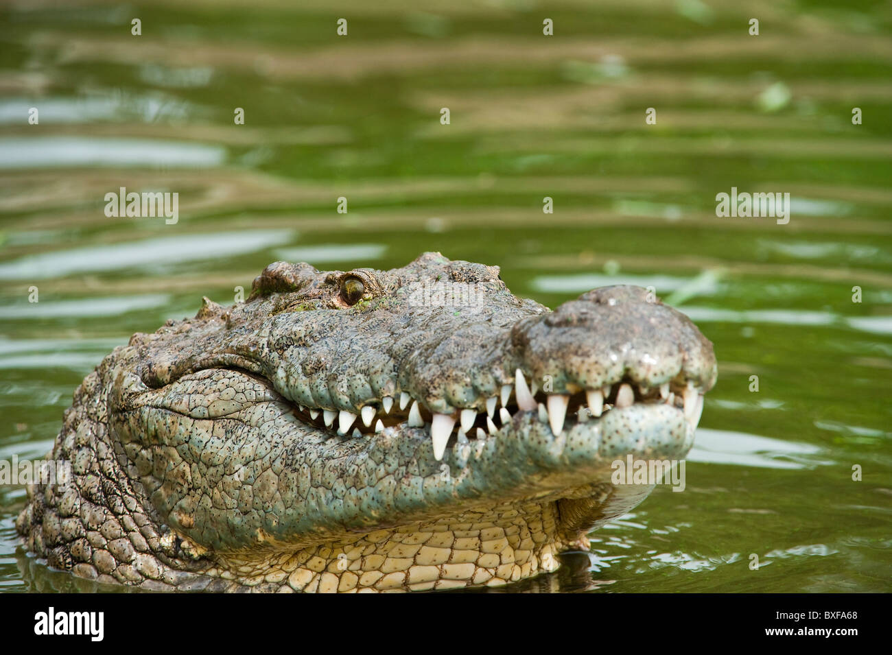 d758386d5fa4 Nile Crocodile (Crocodylus niloticus) looking out from the water. - Stock  Image
