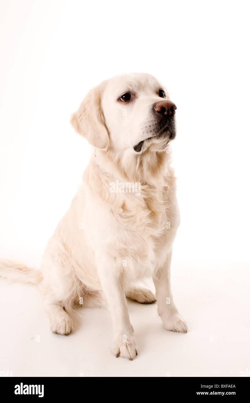 golden retriever pedigree dog dogs fur coat hair face expression expressions hound gun gundog gundogs faithful friend - Stock Image