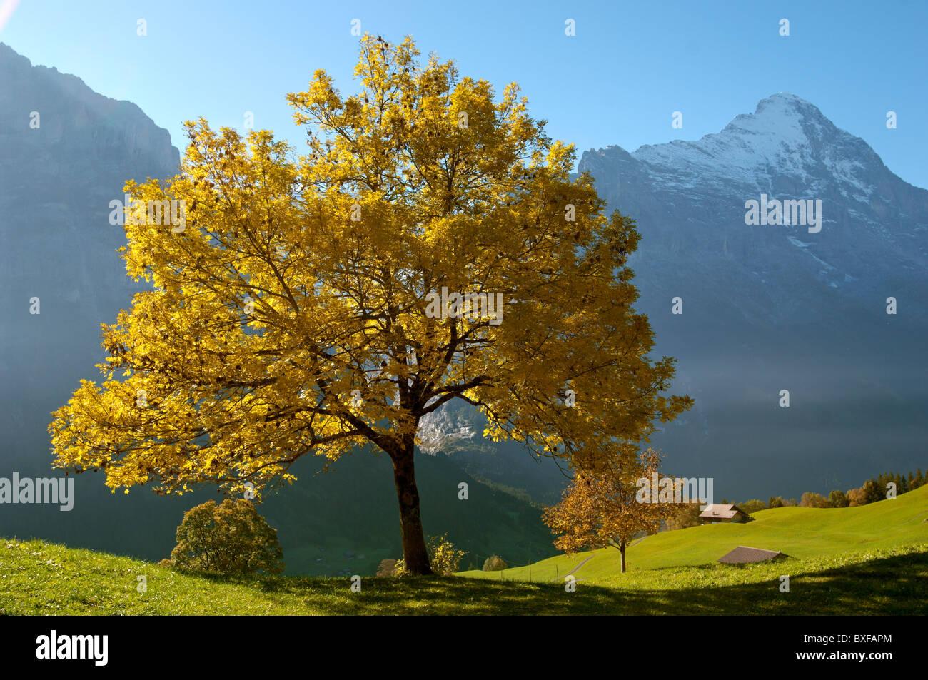Autumn trees in the Swiss Alps, Grindelwald, Switzerland - Stock Image