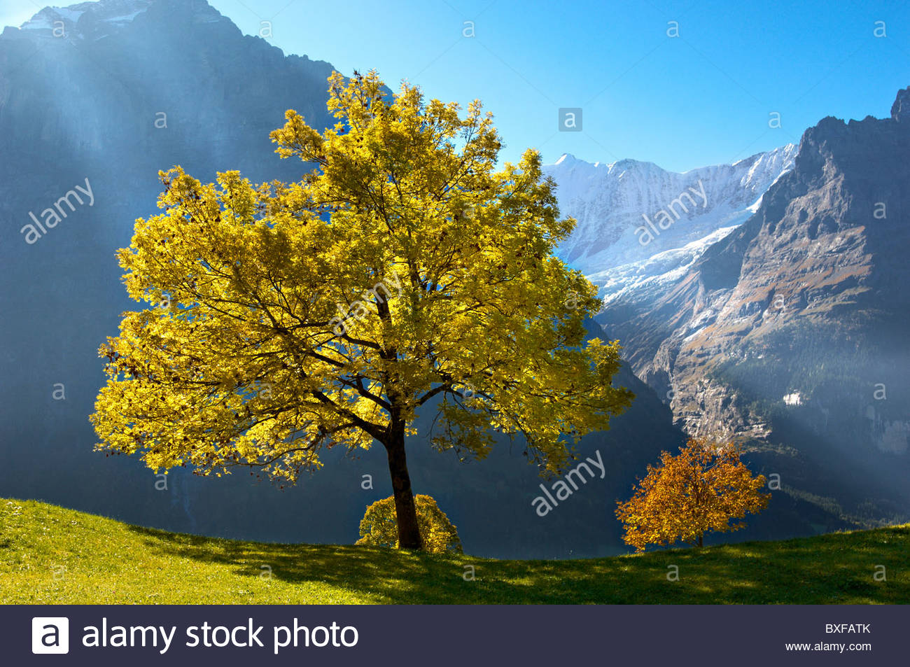 Autumn trees in the Swiss Alps, Grindelwald, Switzerland - Stock Image