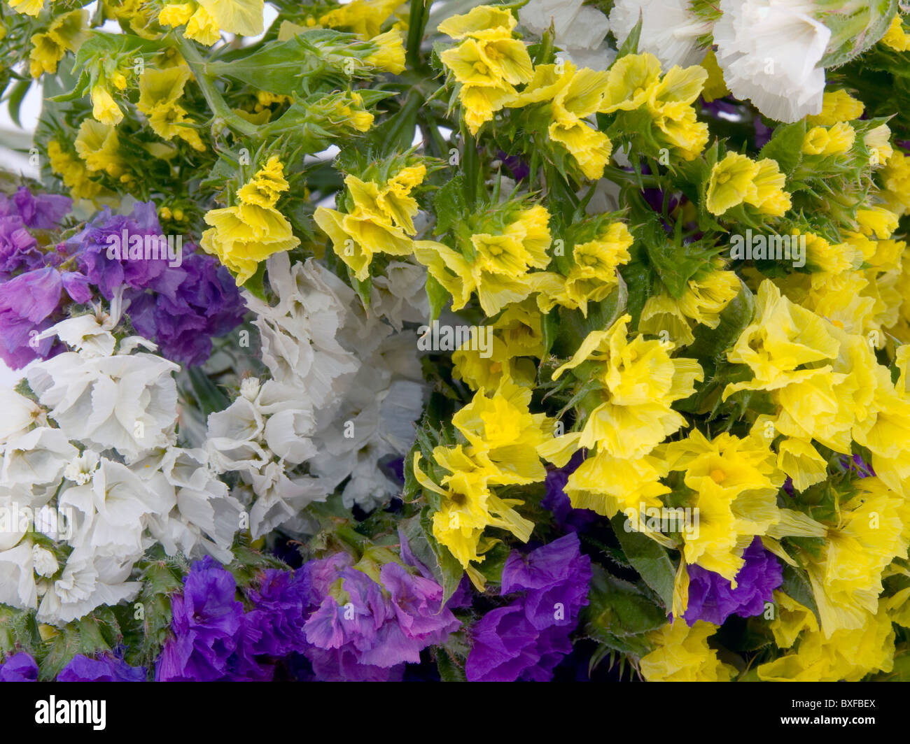 Closeup picture of statice flowers - flowers background - Stock Image