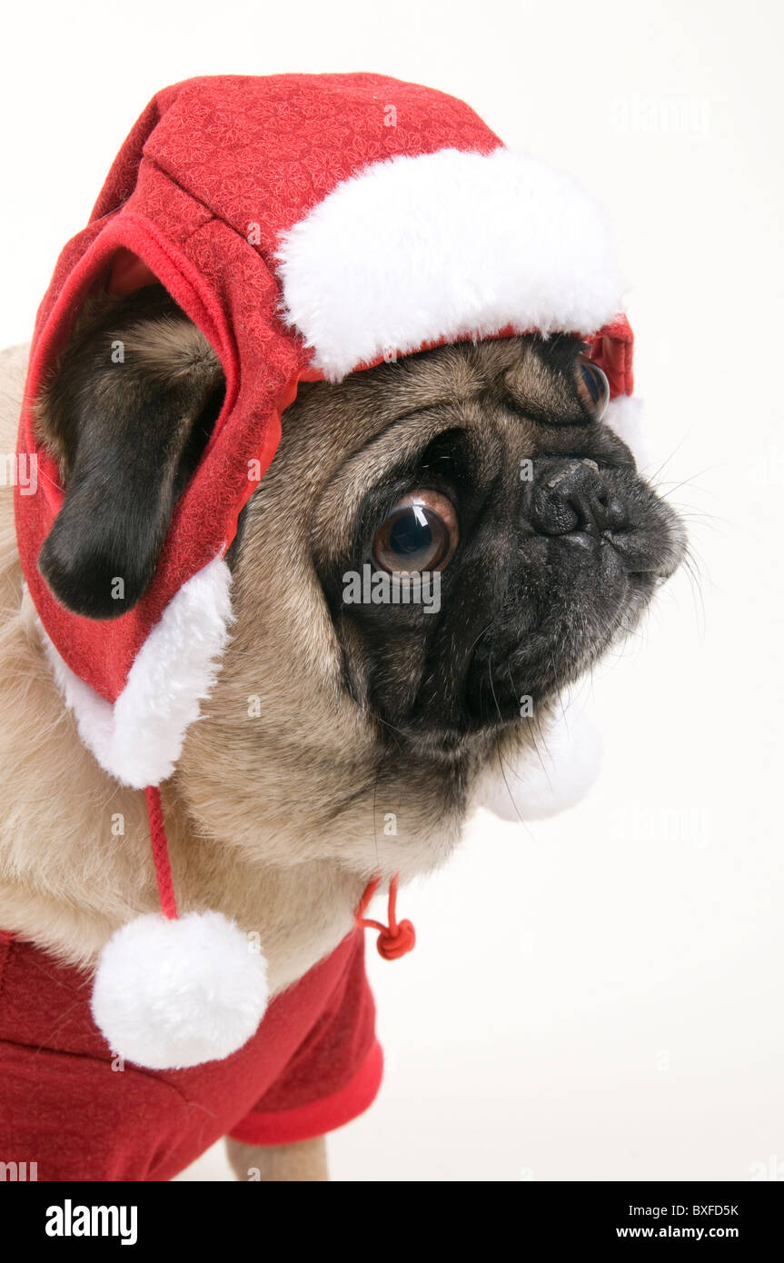 Cute Christmas Pug Against White Background. - Stock Image
