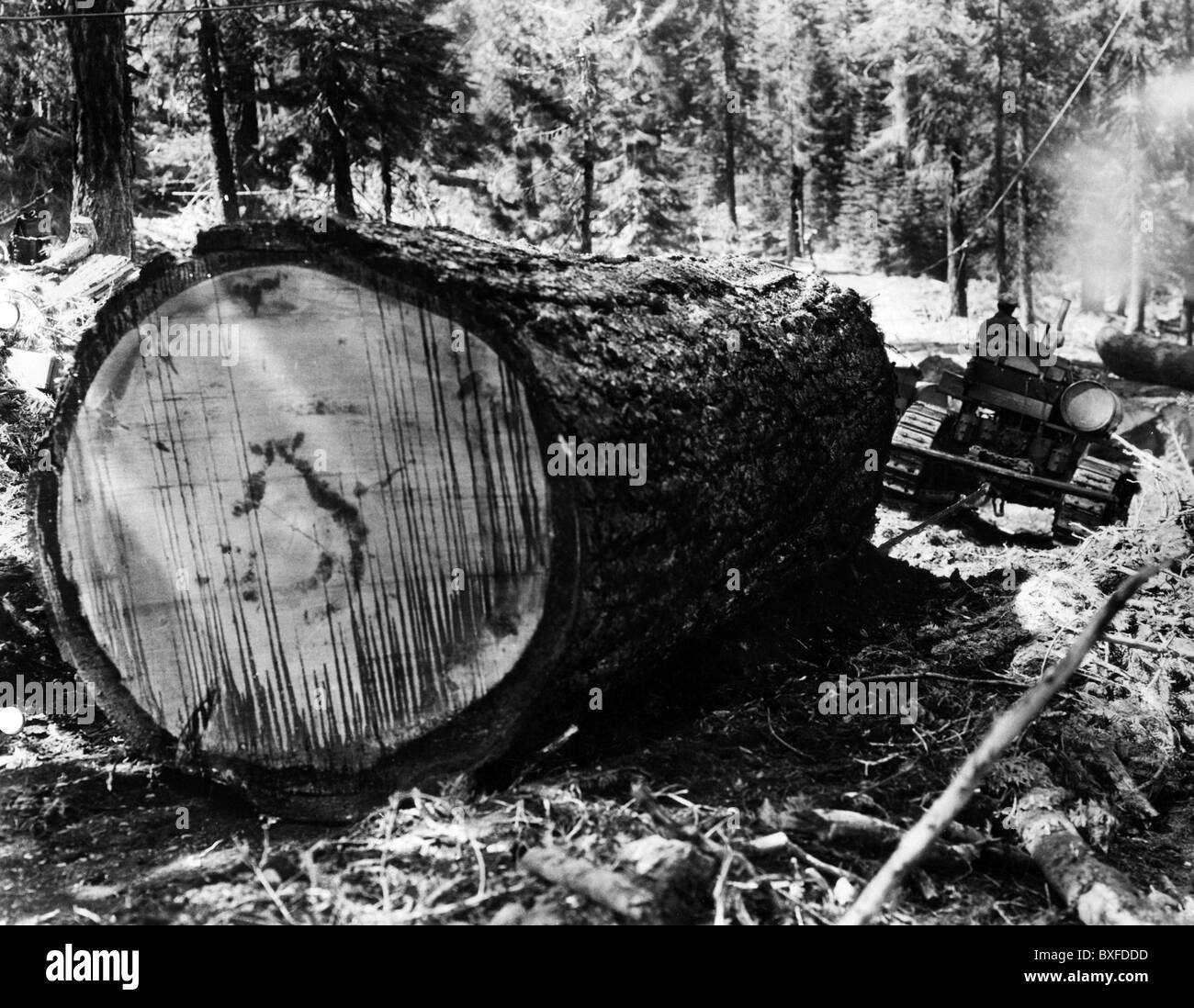 agriculture, forestry, lumberjacks, lumber pulled by a caterpillar, Westwood, California, 1920s, , Additional-Rights - Stock Image