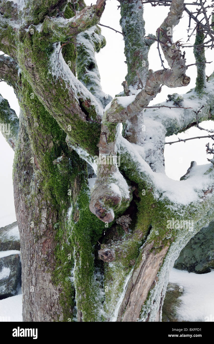A Hawthorn trunk covered with moss and snow. - Stock Image