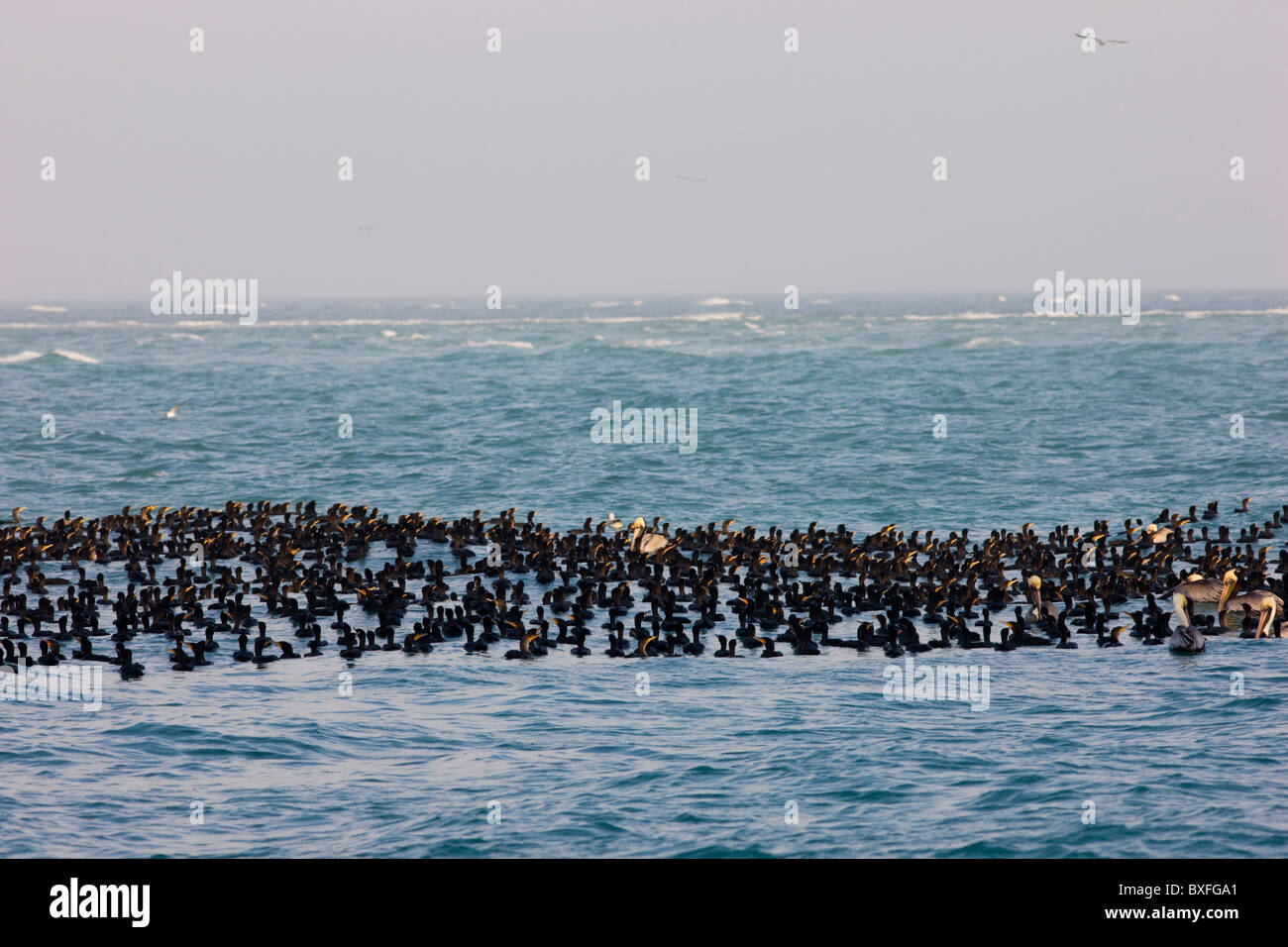Double-crested Cormorants and Brown Pelicans floating in the Gulf of Mexico by Anna Maria Island, Florida, USA - Stock Image