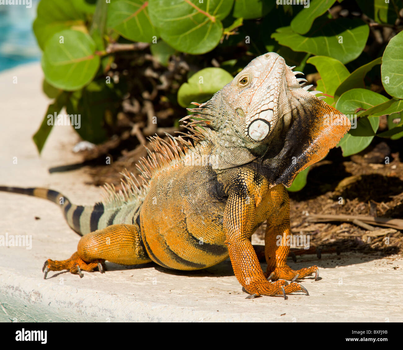 Male iguana doing a mating dance and raising its head to expose its plumage - Stock Image