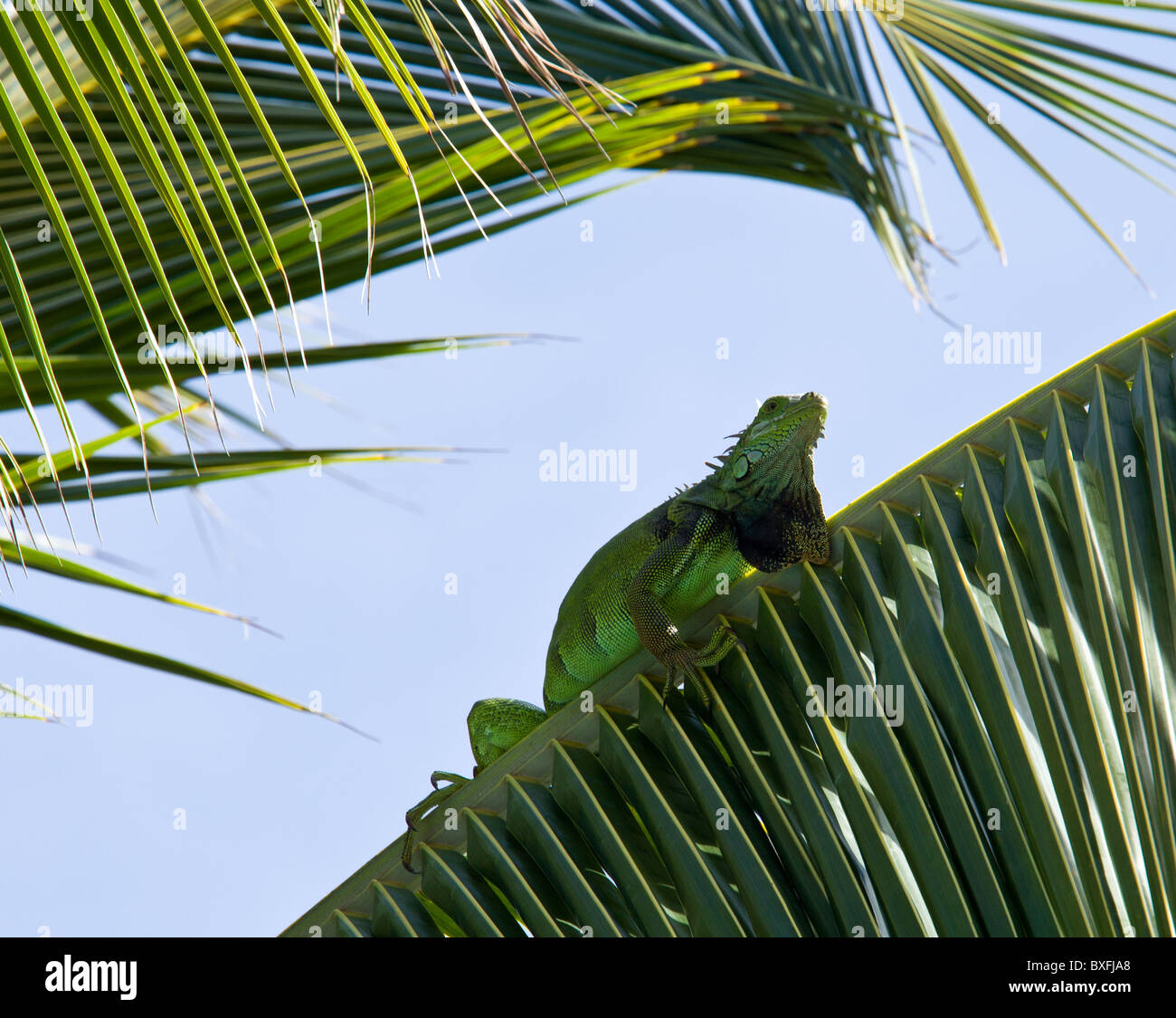 Green iguana climing in the fronds of a palm tree - Stock Image