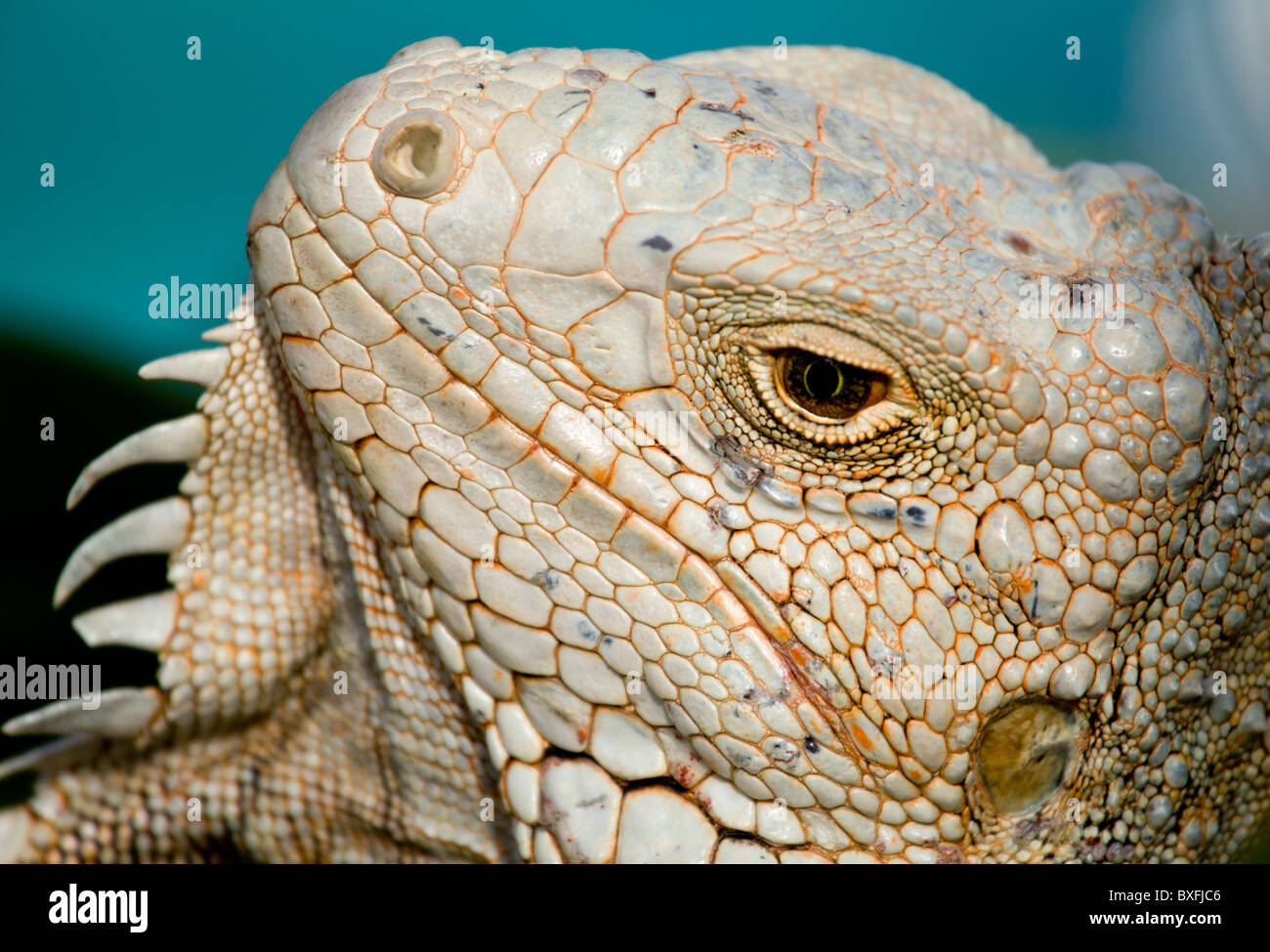 Green Iguana with scaly neck and mouth - Stock Image