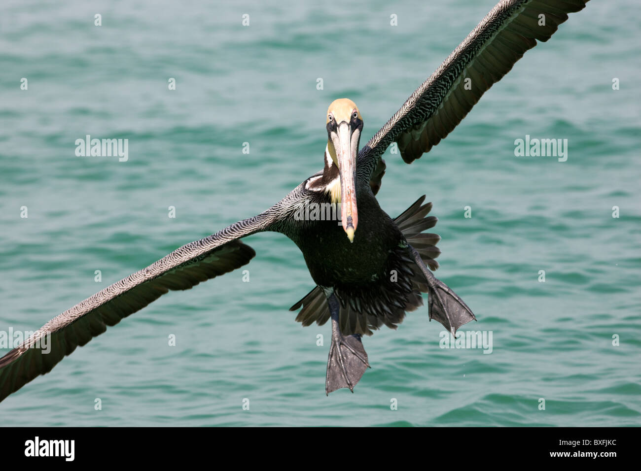 Brown pelican coming in to land off the Florida coast in the Gulf of Mexico by Anna Maria Island, United States - Stock Image