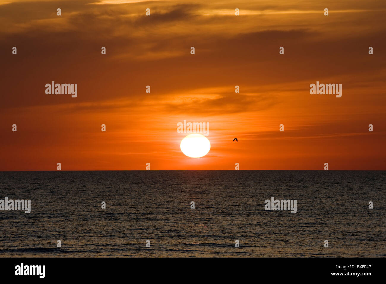 Lone bird flies at sunset over the Gulf of Mexico from Anna Maria Island, Florida, United States of America - Stock Image