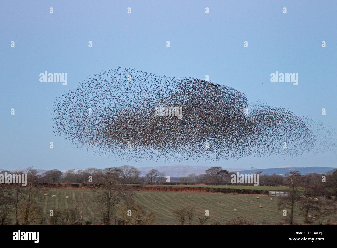 Common Starlings coming into roost - Stock Image