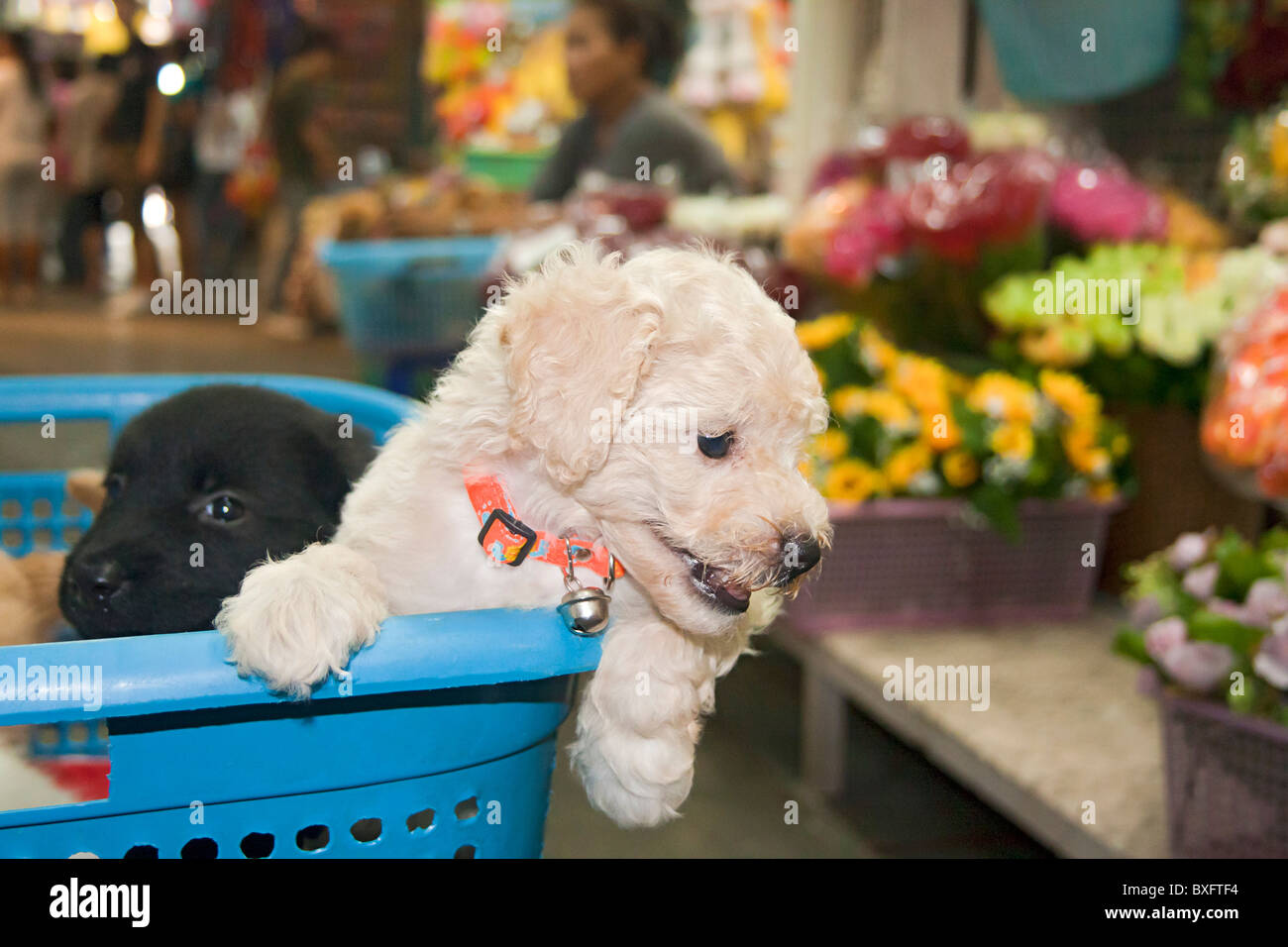 Puppies for sale at Chatuchak Weekend Market, Bangkok, Thailand. - Stock Image