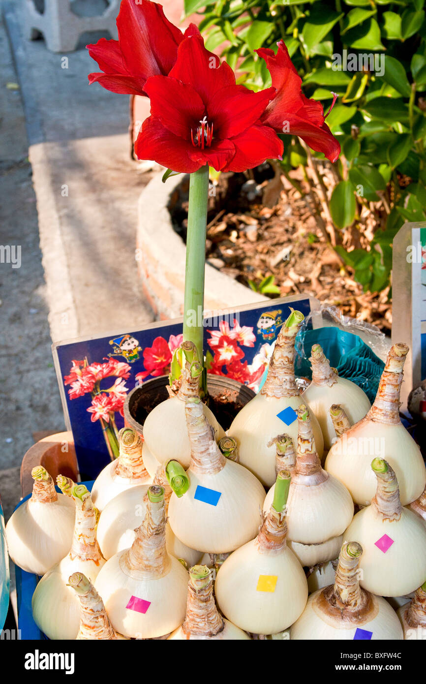 Flower bulbs for sale at Chatuchak Weekend Market, Bangkok, Thailand. Stock Photo