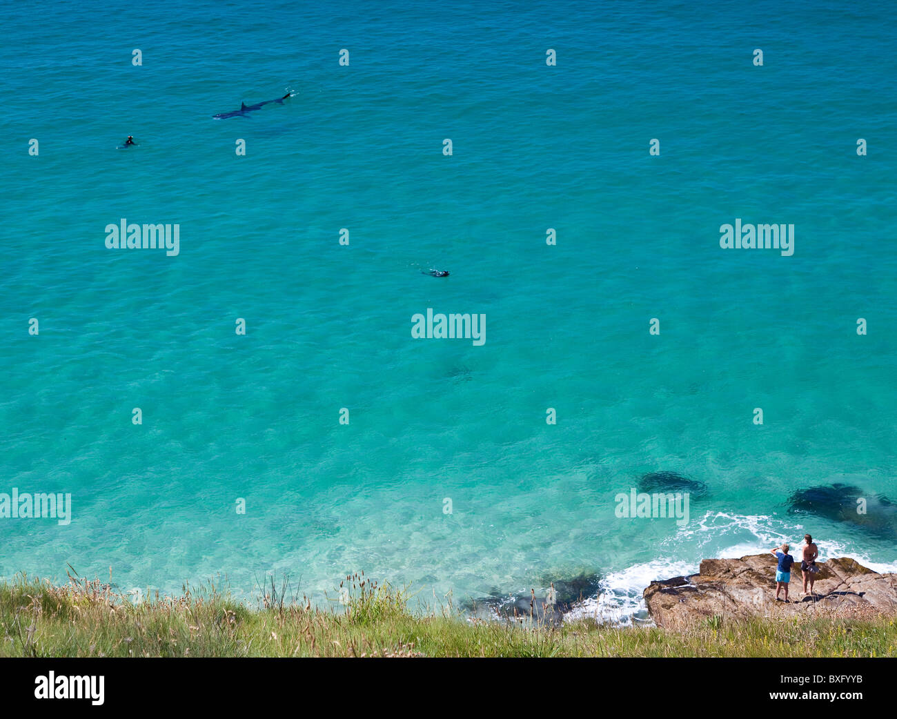 Basking shark and divers at Porth Chapel, West Cornwall, UK - Stock Image