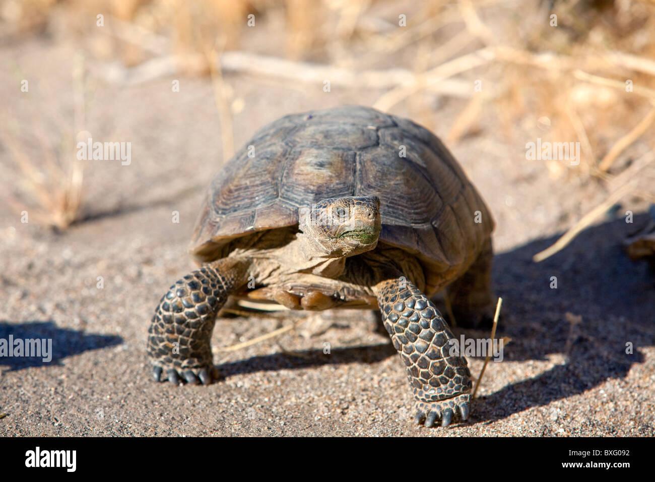 An endangered desert tortoise in Anza Borrego Desert State Park, California. - Stock Image