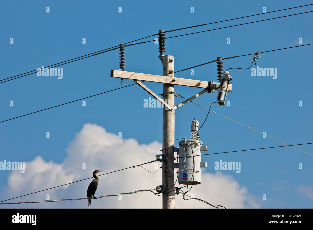Wire Conduit Stock Photos Images Alamy Wiring Cable Bird On The Cormorant Power And Telephone Cables Telegraph Pole Everglades