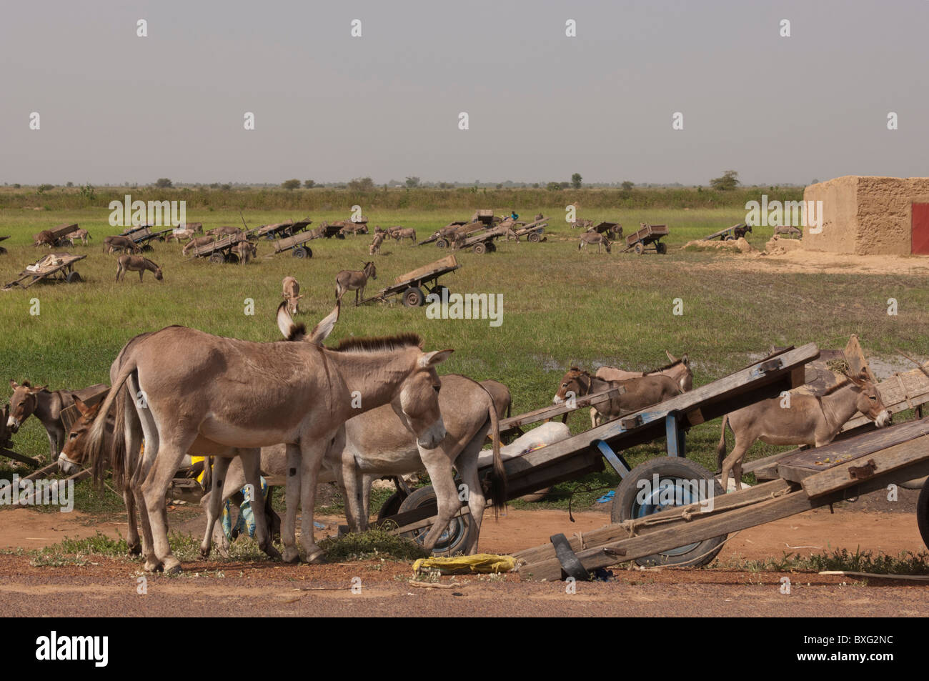 Parked carts and resting donkeys near a weekly market of a village near Massina. Segou Region, Mali. - Stock Image