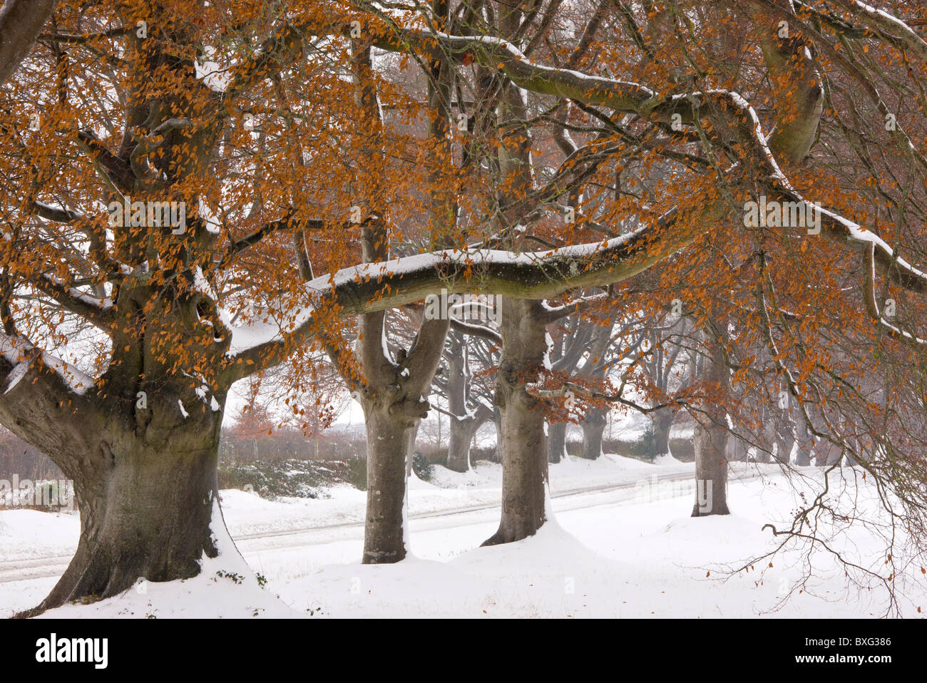 Old pollard Beech avenue at Kingston Lacey, Wimborne in heavy winter snow. Dorset. - Stock Image