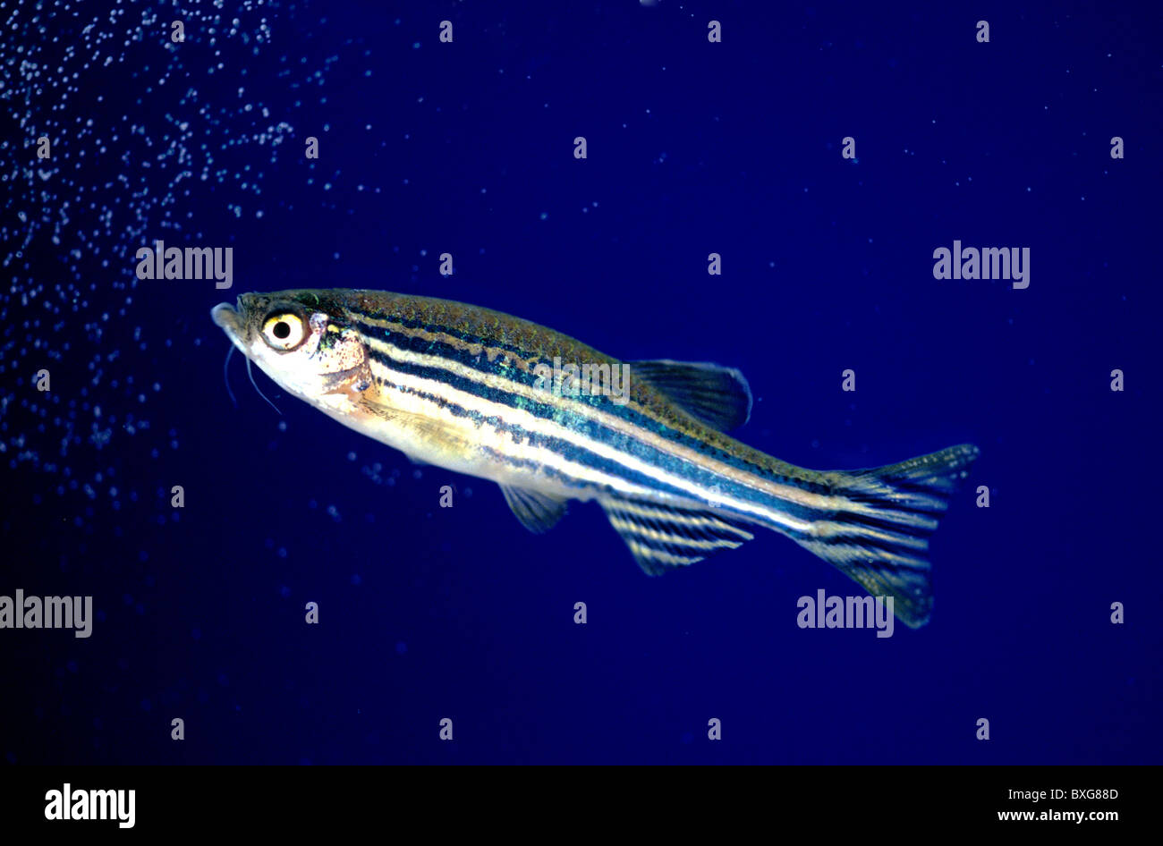Zebrafish, aquarium Stock Photo