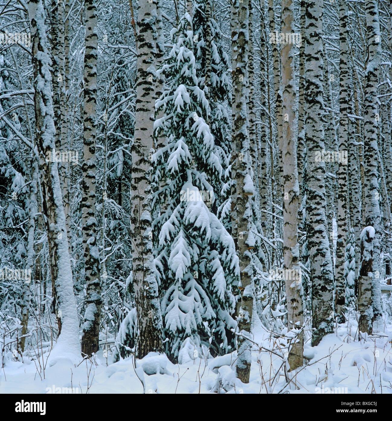 Conifer forest. Altai, Siberia, Russia - Stock Image