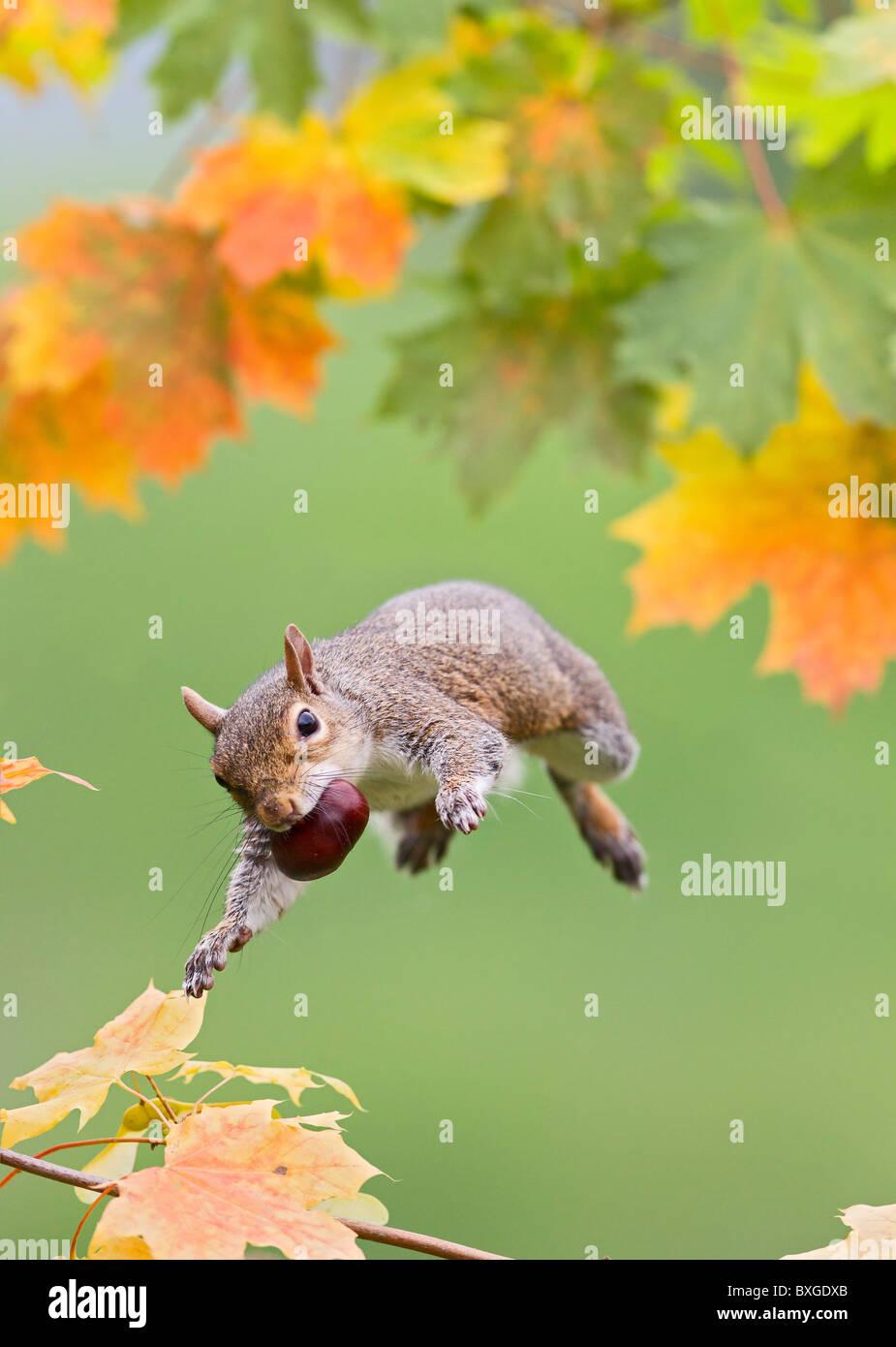 Grey Squirrel ( Sciurus carolinensis ) jumping with conker - Stock Image