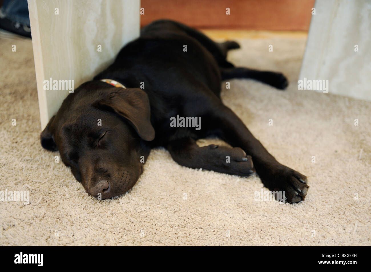 Chocolate Brown Labrador puppy dog sleeping on carpet - Stock Image