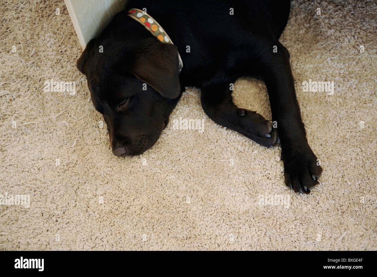 Chocolate Brown Labrador puppy dog sleeping on carpet - Stock Image