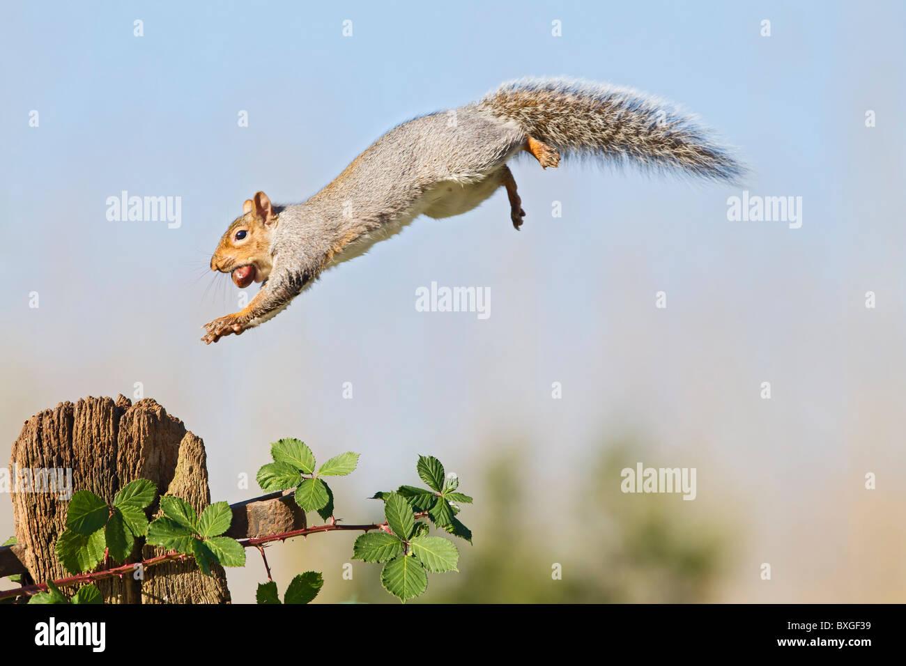 Grey Squirrel ( Sciurus carolinensis ) jumping to gate post - Stock Image