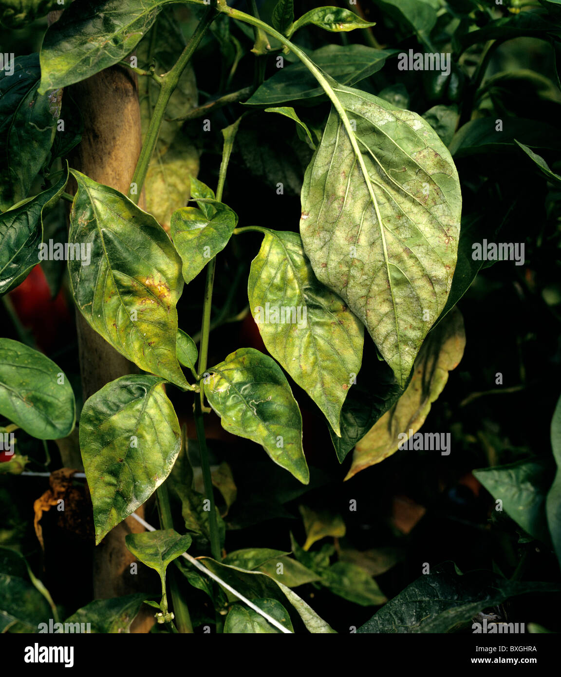 Powdery mildew (Leveillula taurica) infection on sweet pepper leaf, Portugal - Stock Image