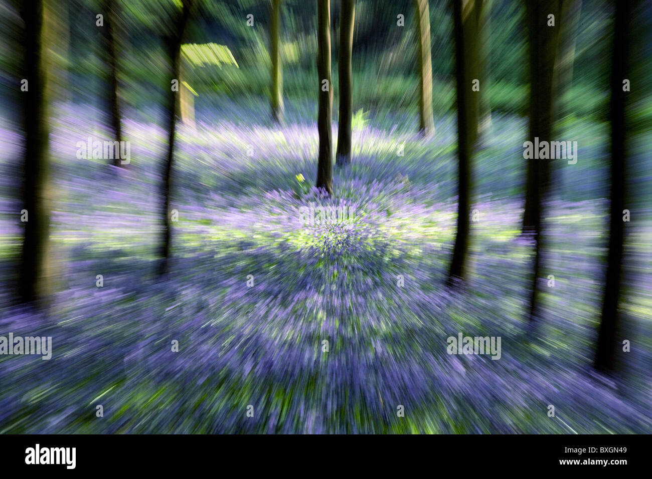 Zoom shot of a Somerset bluebell wood - Stock Image