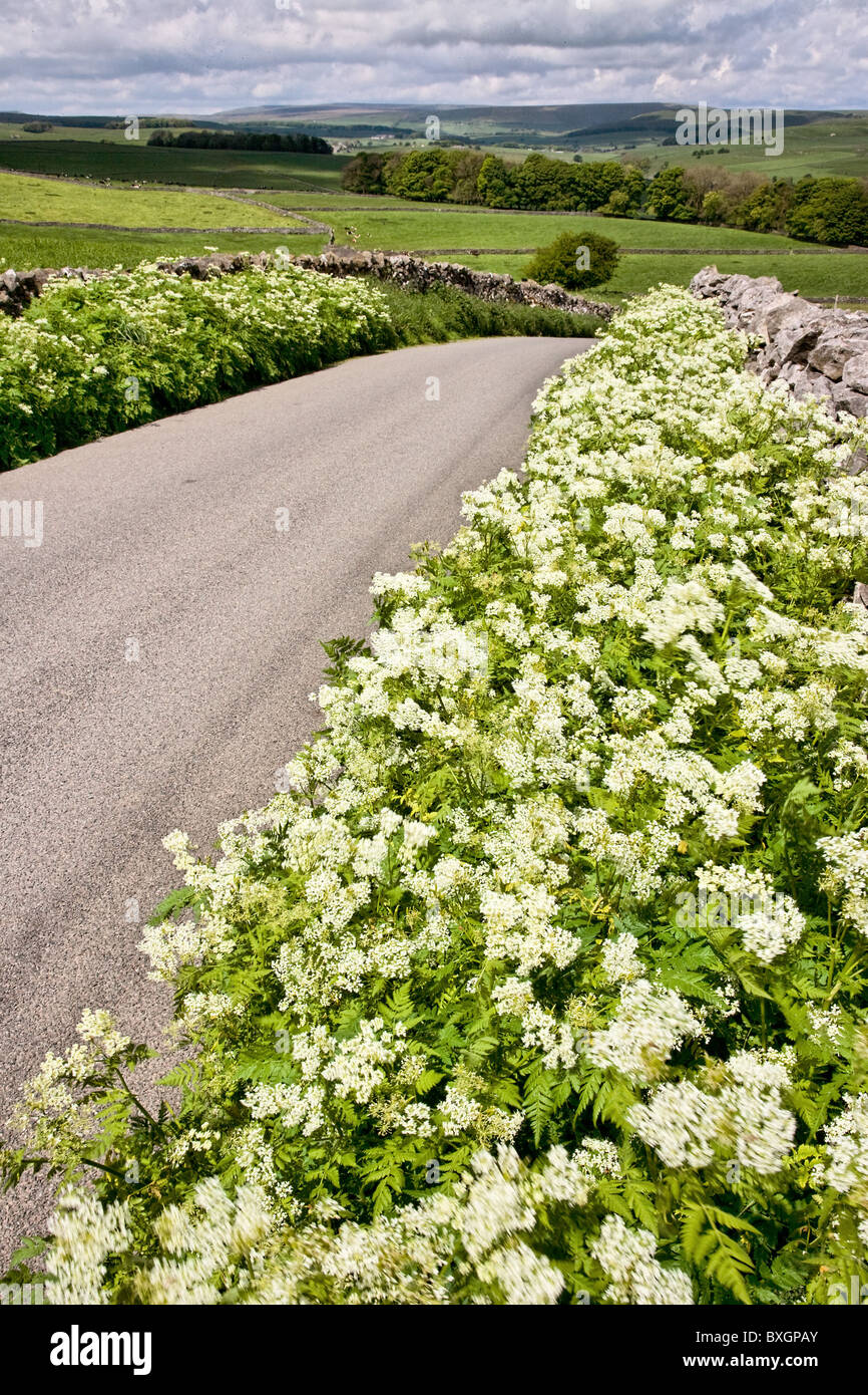 Country lane with verges of Sweet Cicely Myrrhis odorata in the Derbyshire Peak District near Tideswell - Stock Image