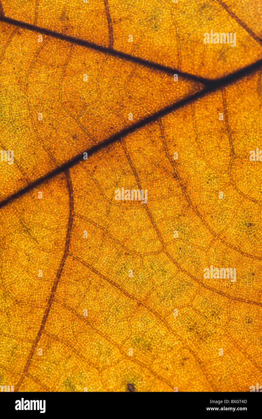 Macro shot of an autumn Plane tree leaf - Stock Image